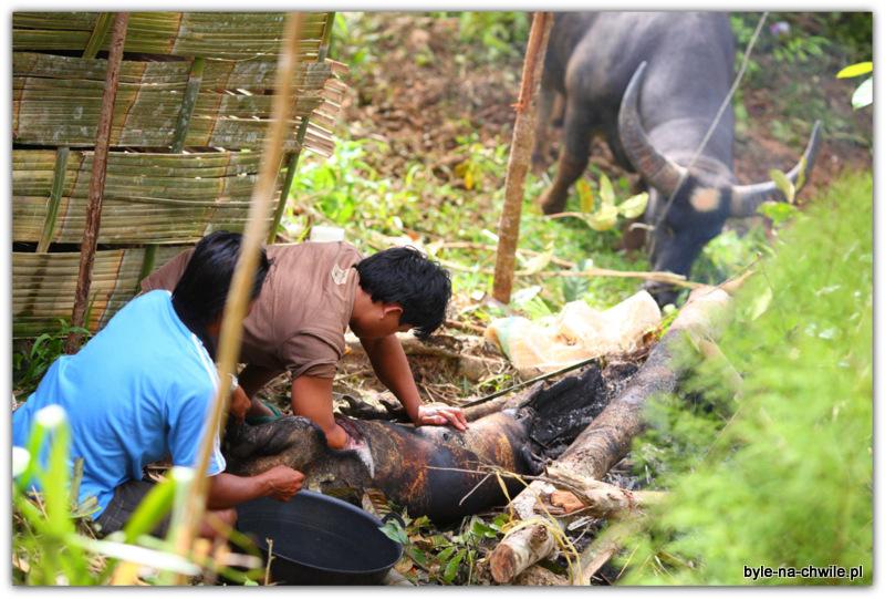 Przygotowanie świni doupieczenia