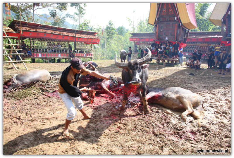 Zwyczaj zabijania bawołów