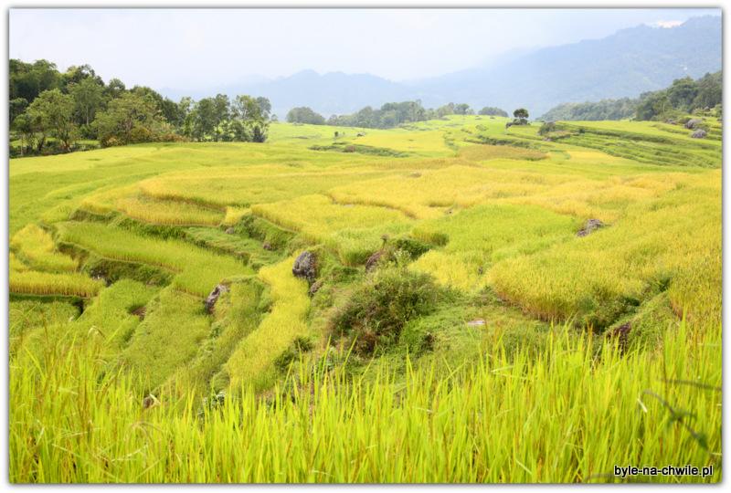 Pola ryżowe wokolicy Rantepao