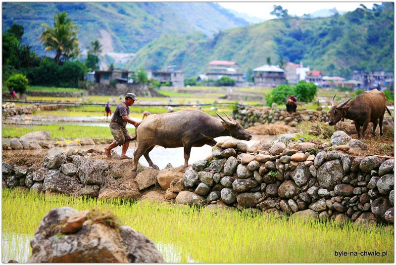 tarasy ryżowe Bontoc